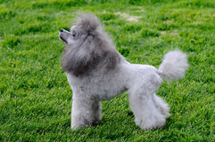 Small poodle Royalty Free Stock Images
