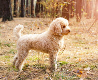 Small poodle in autumn forest. Royalty Free Stock Photos