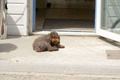 Small poodle dog waiting in doorway to cafe Royalty Free Stock Photo
