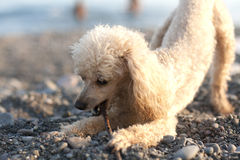 Small poodle gnawing stick Stock Image