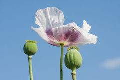 Poppy blossom against a blue sky. Small poppy blossom against a blue sky Royalty Free Stock Images