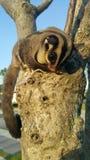 Small possum or sugar glider climb on the tree Stock Image