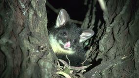 Small possum in a tree in the night in Margaret River, Western Australia