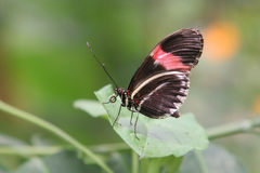 Small postman butterfly. (Heliconius erato) resting on a leaf Stock Image
