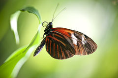 Small Postman Butterfly. A macro shot of a Small Postman Butterfly (Heliconius erato reductimaculata) on a leaf with lots of room for copy space. These stock photos