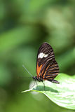 Small Postman Butterfly. A macro shot of a Small Postman Butterfly (Heliconius erato reductimaculata) on a leaf with lots of room for copy space. These royalty free stock photo