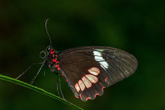 Small Postman Butterfly Stock Images