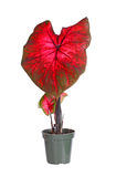 Small potted caladium plant ready for transplanting Stock Image
