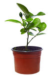 Small potted citrus tree plant, isolated on white Royalty Free Stock Photography