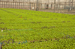 Small potted plants in a Dutch plant nursery Stock Photos