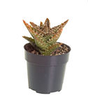 Small potted Zanzibar aloe plant against white Stock Photography