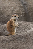 Small prairie dog Royalty Free Stock Images