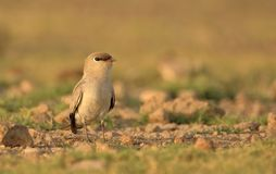 Small pratincole bird. Single small pratincole bird standing stone ground near river. beautiful and natural background royalty free stock image
