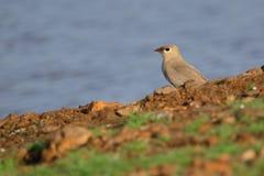 Small pratincole bird. Single small pratincole bird standing stone ground near river. beautiful and natural background royalty free stock photo