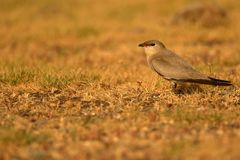 Small pratincole bird. Single small pratincole bird standing stone ground near river. beautiful and natural background royalty free stock photos