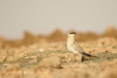 Small pratincole bird. Standing in the brown field and seeing someone. Beautiful view stock image