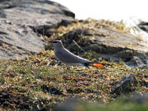 Small Pratincole Stock Photo