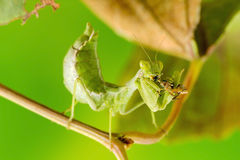 Small Praying Mantis Royalty Free Stock Photos