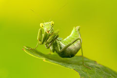Small Praying Mantis Stock Photos