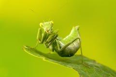 Small Praying Mantis Stock Photos