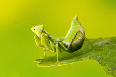 Small Praying Mantis Royalty Free Stock Photo
