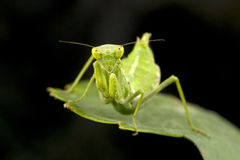Small Praying Mantis Royalty Free Stock Photography