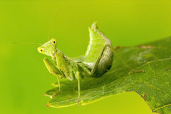 Small Praying Mantis Stock Photography