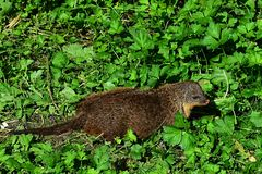 Small predator Gambian mongoose Mungos Gambianus creeping in green vegetation. Picture taken during summer season in ZOO Stock Photo