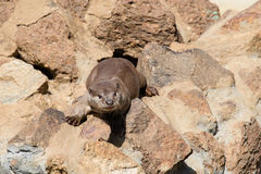 Small predator - otter. Small predator, otter sitting on the rocks Stock Photography