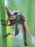 Small predator. Robberfly enjoy the breakfast in this morning Royalty Free Stock Photo