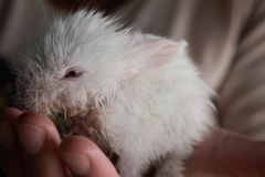 Small premature white rabbit in the hands of its owner royalty free stock photos