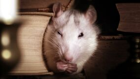 Small cute gray rat sitting between old books