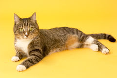 Small pretty greeneyed tabby cat  on yellow Stock Image