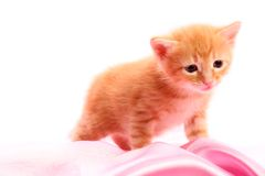 Small pretty kitten Royalty Free Stock Photos