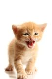 Small pretty kitten Royalty Free Stock Photography