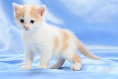 Small pretty kitten Royalty Free Stock Images