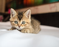 Small pretty kitten British golden chinchilla ticked lay down on Stock Images