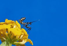Small preying mantis sitting on yellow flower. On blue background Stock Images