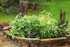 Small private backyard vegetable garden. A bed with growing tomatoes bushes in a small back yard garden during a summer rainy day. Private gardening and healthy Royalty Free Stock Images
