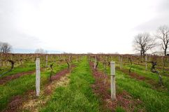 Small private vineyard Stock Photography