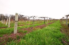 Small private vineyard Stock Photo