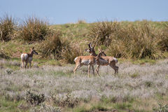 Small Pronghorn Antelope Herd Royalty Free Stock Photography