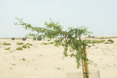 Small protected cultivated plant in the desert Stock Images