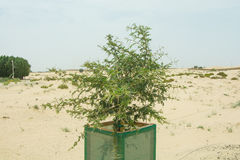 Small protected cultivated tree in the desert Royalty Free Stock Image