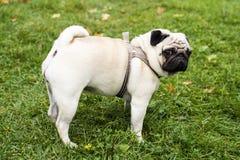 Small pug Royalty Free Stock Photos