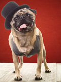 Funny small dog wearing a vest and hat Stock Photos