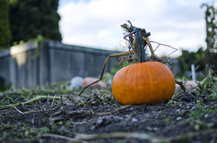 Small Pumpkin. Growing in a garden Royalty Free Stock Images