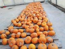 Small pumpkins Royalty Free Stock Photography