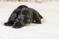 Small puppi breed Miniature Schnauzer royalty free stock photo