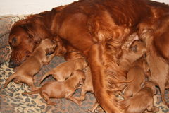 Small Puppies Stock Image